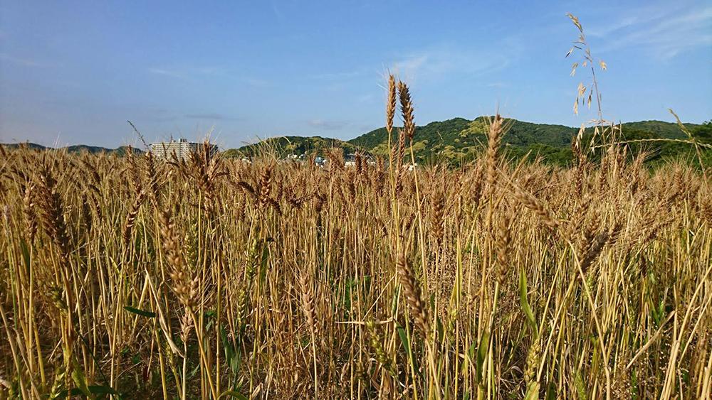 横須賀産の小麦粉・無農薬栽培の小麦粉