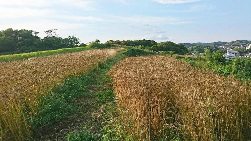 無農薬で育った小麦