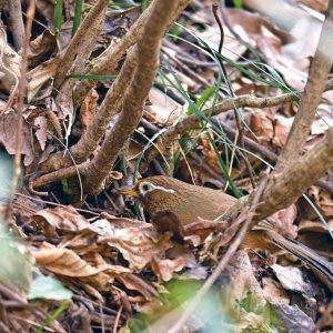 藪の地上で採食するガビチョウ