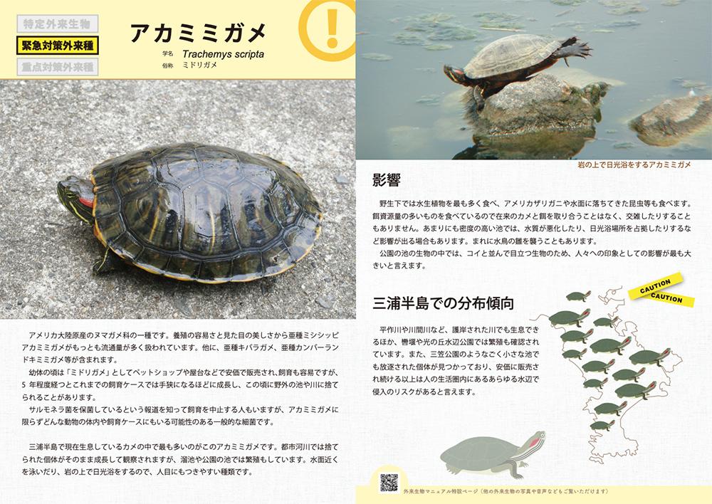 11. アカミミガメ