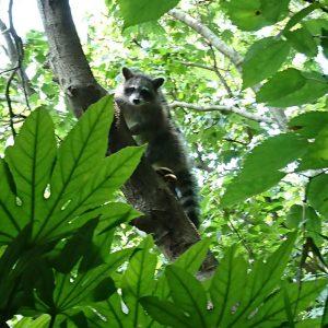 木登りをするアライグマ