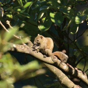 小鳥のヒナを食べるクリハラリス