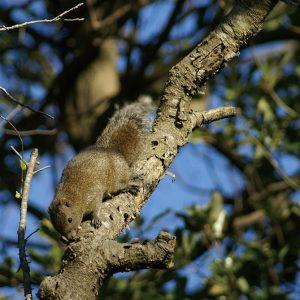 樹皮を食べるクリハラリス