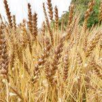 横須賀の無農薬の小麦粉